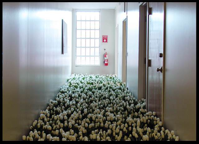 BLOOM-by-Anna-Schuleit-White-Tulips The Child Psychiatry unit with white tulips.