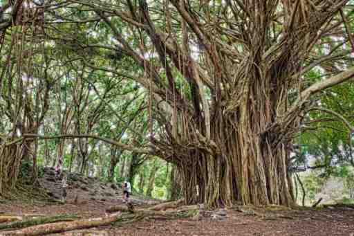 The ancient banyan tree