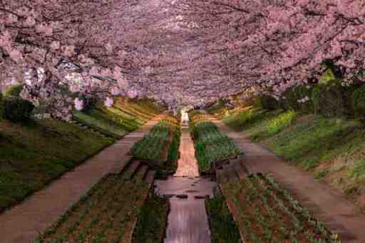 Yokohama cherry blossoms in bloom